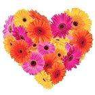 Frisky Feelings Gerberas Premium Heart Shaped Arrangement to Birati