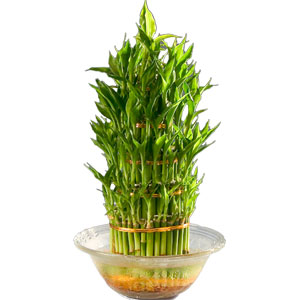 Captivating Three Tier Bamboo Plant in Bowl with Incredible Love
