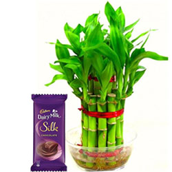 Good Luck Bamboo Plant with Cadbury Silk Chocolate Bar