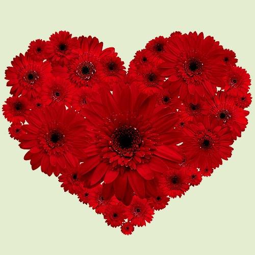 Dazzling 2 Dozen Red Gerberas Arrangement in Heart Shape