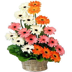 Magnificent Basket Arrangement of Mixed Gerberas